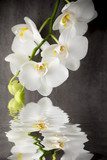 White orchid on the grey background. - 90479819