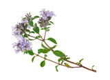 Medicinal plant: Thyme - 90514056
