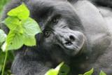 mountain gorilla bwindi np uganda