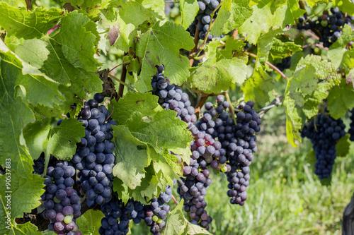 Naklejka Vignes-raisins 08