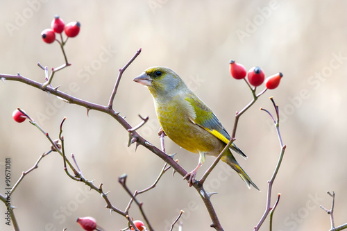 Fototapeta European greenfinch with red rose hips.
