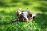 happy chihuahua puppy lying on grass upside down