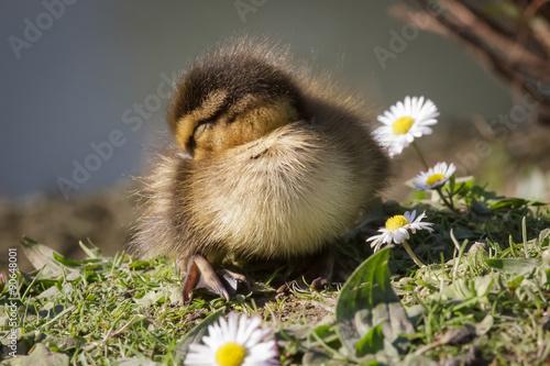 Poster Mallard Duckling