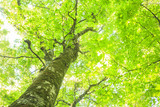 Beech forest of Shirakami-Sanchi, world Heritage, Aomori, Japan