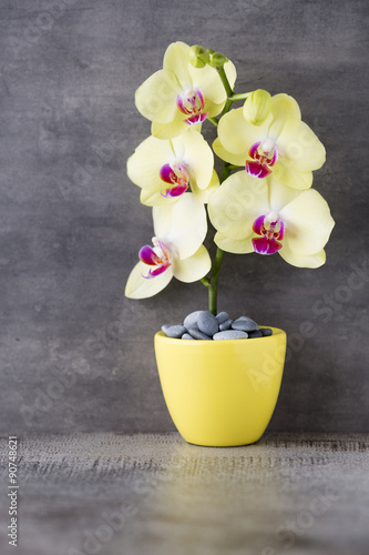 Yellow orchid on the grey background.