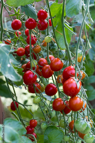 viele rote tomaten stockfoto 39 s en rechtenvrije afbeeldingen op pic 90758605. Black Bedroom Furniture Sets. Home Design Ideas