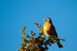 American Robin in a New Mexico juniper tree at sunset