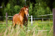 Obrazy na płótnie, fototapety, zdjęcia, fotoobrazy drukowane : Red horse runs trot on the nature background