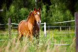 Fototapety Red horse runs trot on the nature background