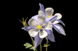 Aquilegia saximontana, the Rocky Mountain Columbine. Commonly called Colorado Blue Columbine.