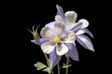 Fototapety Aquilegia saximontana, the Rocky Mountain Columbine. Commonly called Colorado Blue Columbine.