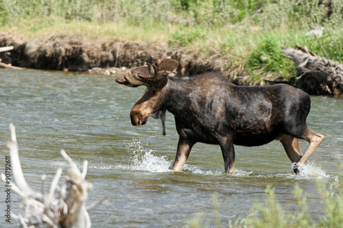 Poster A large bull Moose splashes in the Gros Ventre River inside Grand Teton National