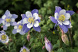 field with Rocky Mountain blue columbine flowers