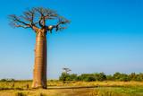 Baobab trees near Morondava