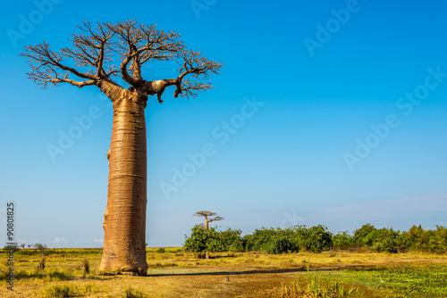 Fotobehang Baobab Baobab trees near Morondava