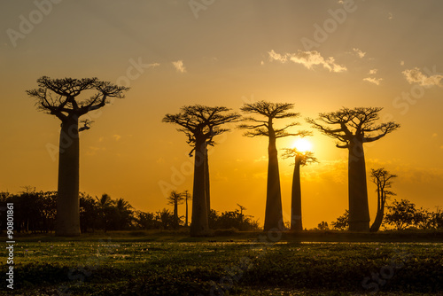 Aluminium Baobab Evening in Baobab avenue