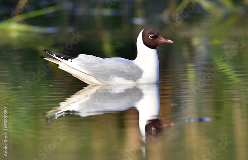 Fotobehang Black-headed Gull (Larus ridibundus) sitting down at the water. Black-headed Gull (Larus ridibundus) sitting down at the water. Gull and reflection