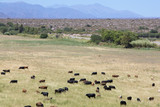 Gaucho herding cows grazing near Cafayate in North West Argentin