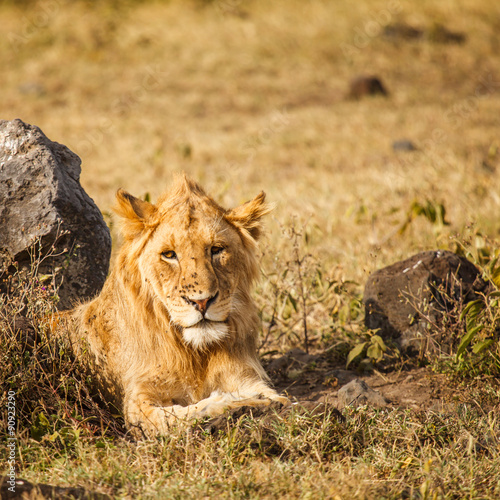 Fotobehang Lion in nature