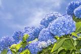 空バックに青いアジサイの花