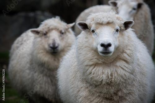 close up face of new zealand merino sheep in farm - 90963228