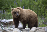 Portrait of wild free roaming brown bear