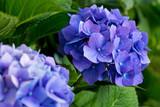 Blue hydrangea flowers.