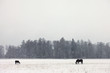 Obrazy na płótnie, fototapety, zdjęcia, fotoobrazy drukowane : Two horses in a snowy field