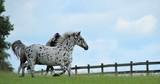 Knabstrupper und Pinto Pony  - 91067845