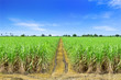 Sugarcane in farm with blue sky in Thailand
