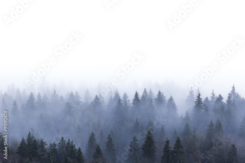 foggy pine forest - 91092678