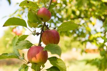 Bio Äpfel am Ast