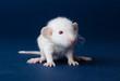 Постер, плакат: Little furry rat with red eyes