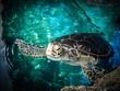 Maui symbol green sea turtle