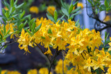 yellow flowered rhododendron