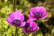 Leinwanddruck Bild - Violette Gartenanemone - Kronenanemone (Anemone coronaria)