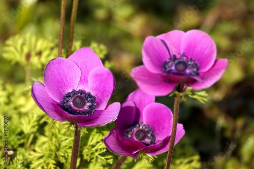Leinwanddruck Bild Violette Gartenanemone - Kronenanemone (Anemone coronaria)