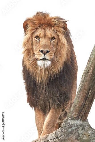 Fotobehang Leeuw Lion (Panthera leo)
