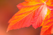 Macro of Beautiful Autumn leaves on defocused background -