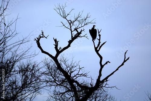 Fotobehang Purper Vulture on dead tree trunk, Kruger National park, South Africa