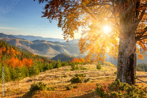 fototapeta na ścianę Early Morning Autumnal Landscape - yellow old tree against the