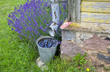 Rainwater collected in a bucket by the building with lavender growing poster