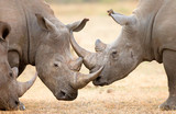White Rhinoceros locking horns
