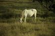 Obrazy na płótnie, fototapety, zdjęcia, fotoobrazy drukowane : Cavalo branco a pastar em prado verde