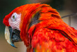 Leinwandbild Motiv roter Papagei
