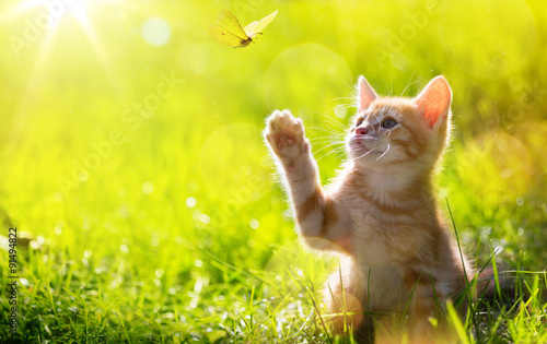 obraz PCV art Young cat / kitten hunting a ladybug with Back Lit