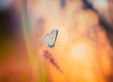Blue butterfly on the wild flower
