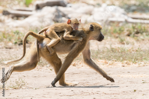 obraz lub plakat Baby Yellow baboon (Papio cynocephalus) riding on its mothers ba