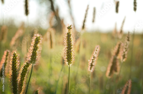 Juliste Grass on the meadow at sunset