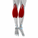 Gastrocnemius - Muscles anatomy map poster